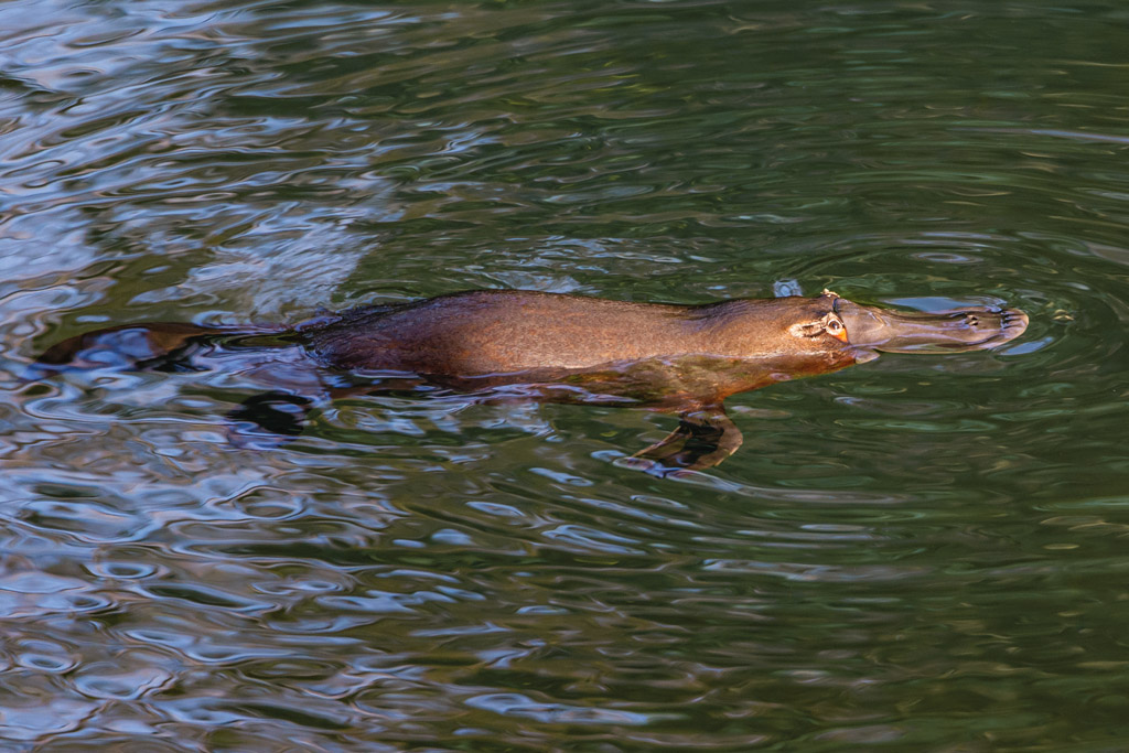 Eungella is one of the best places in Australia to see platypus in the wild.