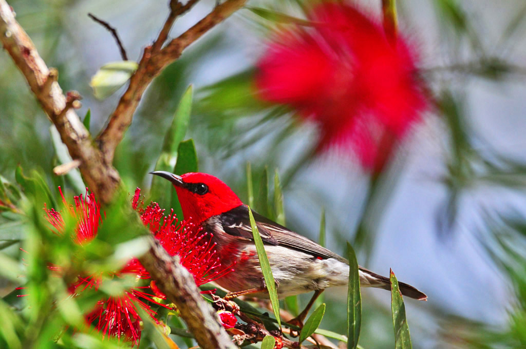 Red-headed honeyeaters love the nectar from native bottle brush.