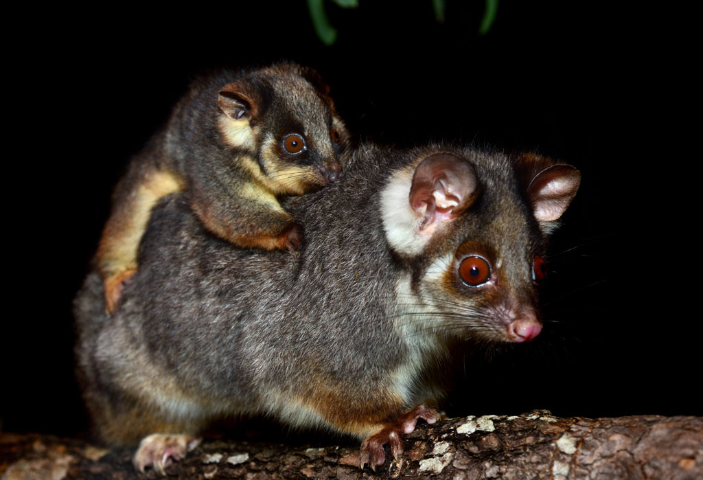 Ringtail Possum and her baby