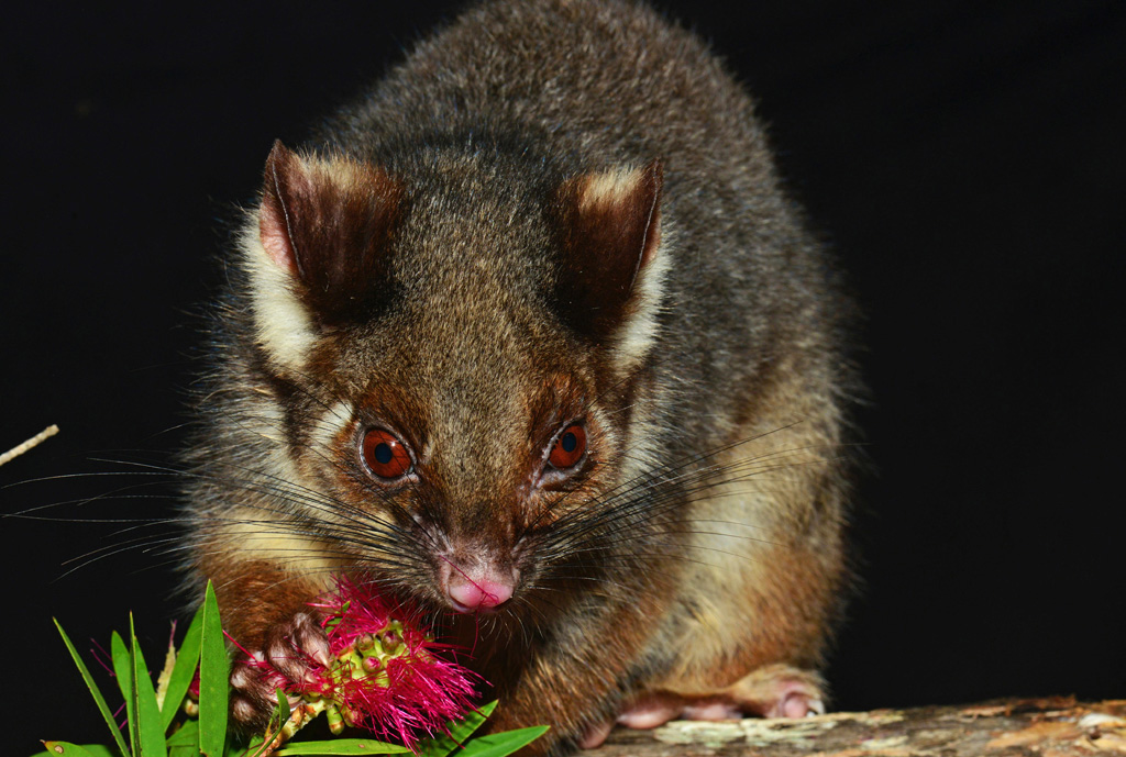 Ringtail Possum eating native bottle brush