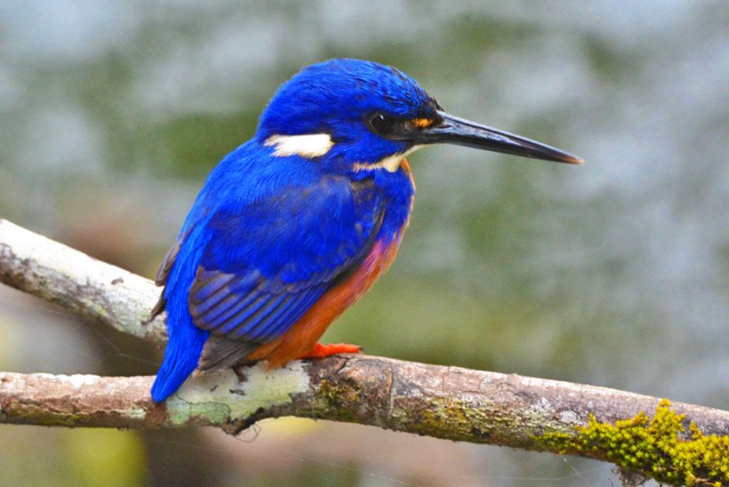 azure kingfisher at eungella national park