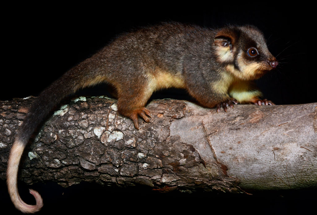 baby ringtail possum