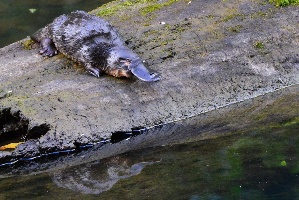 platypus on log