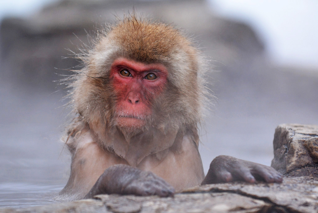 monkey relaxes in the hot springs