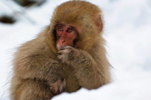 baby snow monkey enjoys the snow