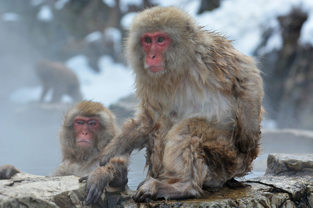 Best snow monkey friends