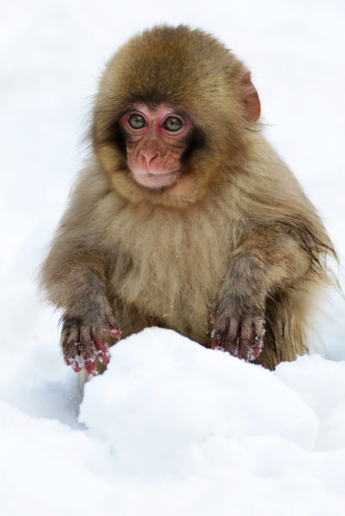a cute snow monkey baby plays in the snow