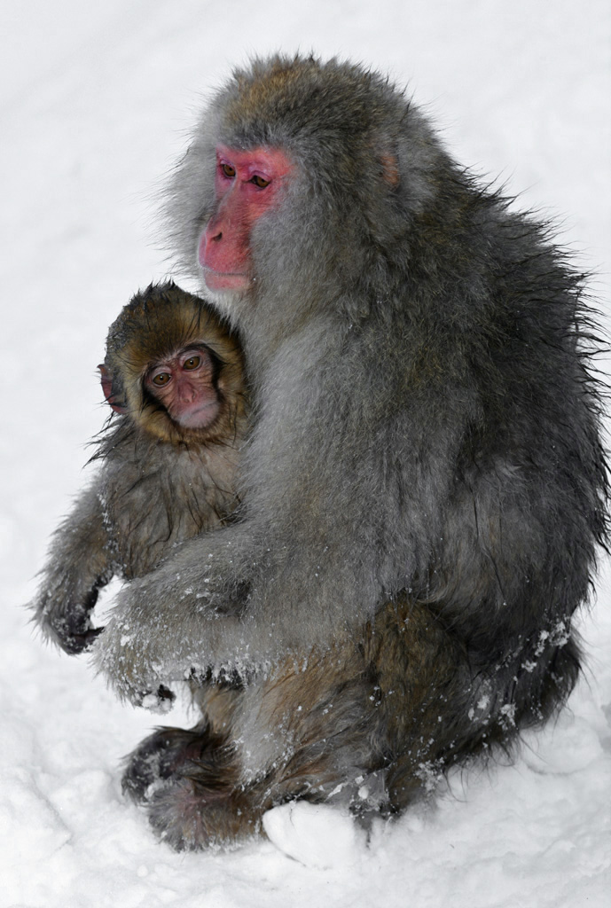 mum and baby snow monkey