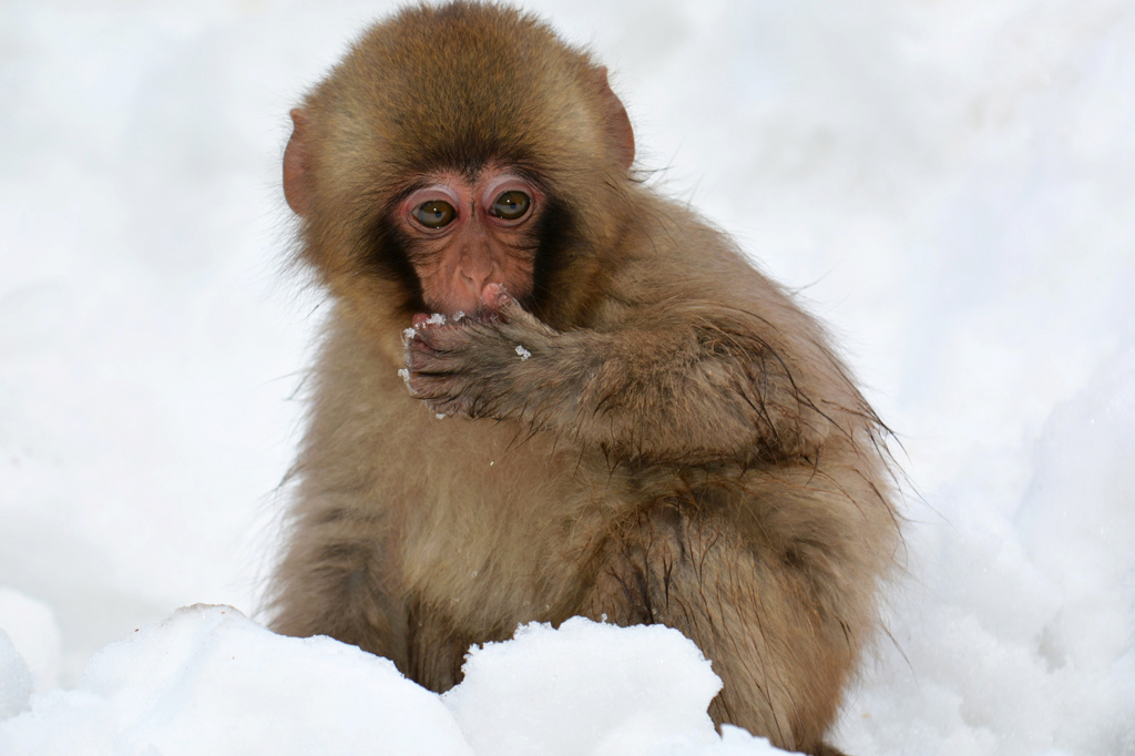snow monkey baby plays in the snow at Jigokudani