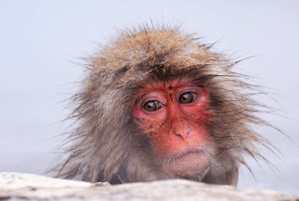 snow monkey bathes in the hot spa