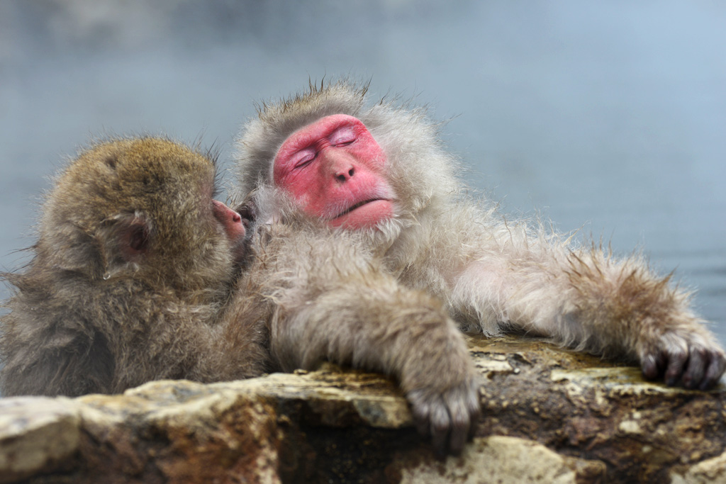 snow monkeys grooming each other