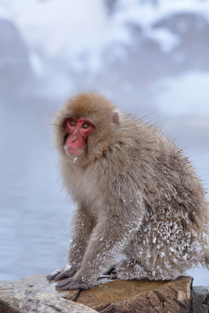 snow monkey outside the hot spa