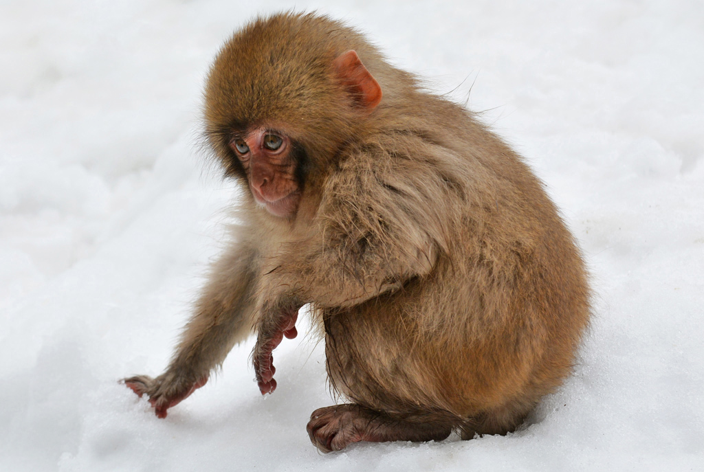 baby snow monkey playing