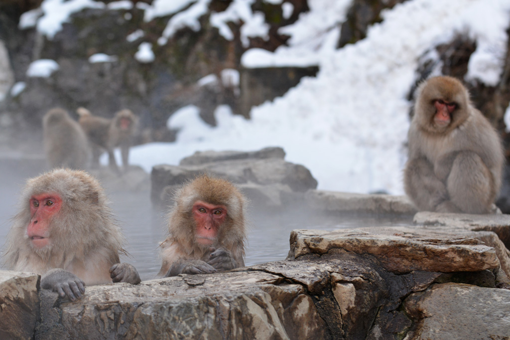 snow monkeys in spa