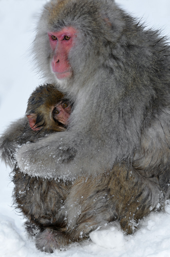 mum and baby snow monkey cuddle to keep warm