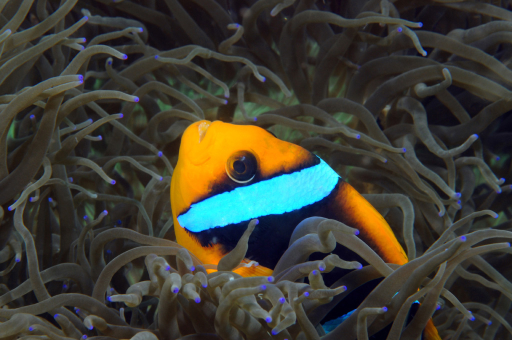 Clownfish at Amen