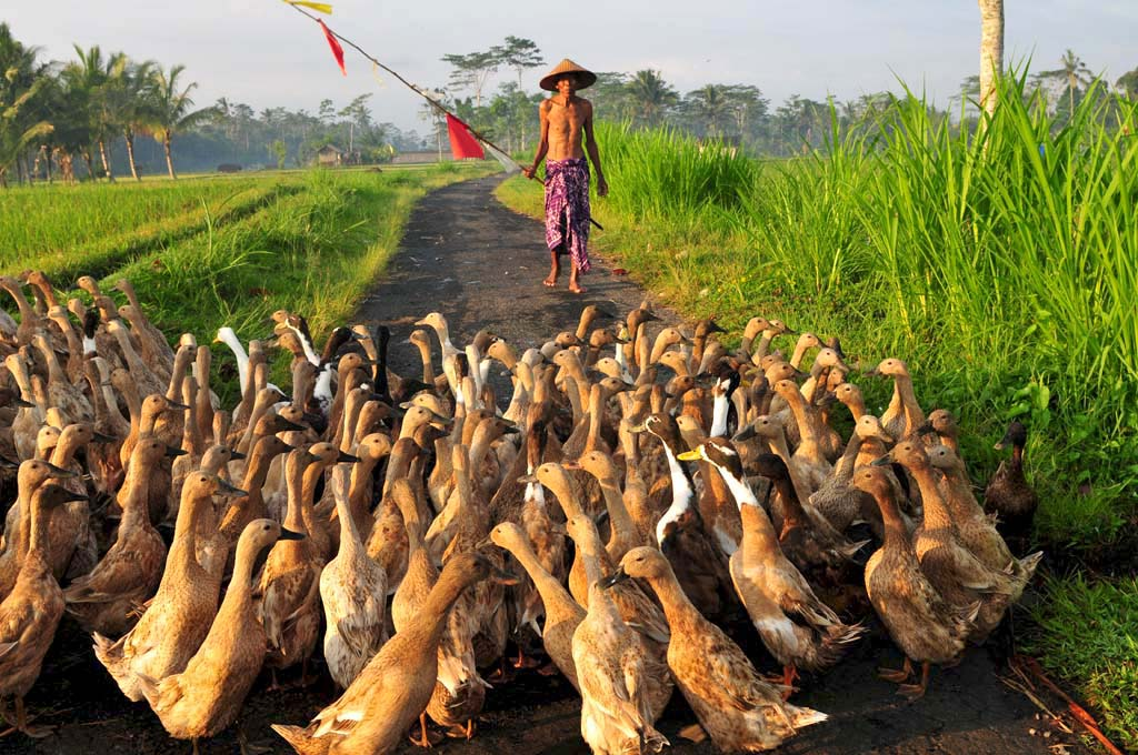 duck farmer and ducks