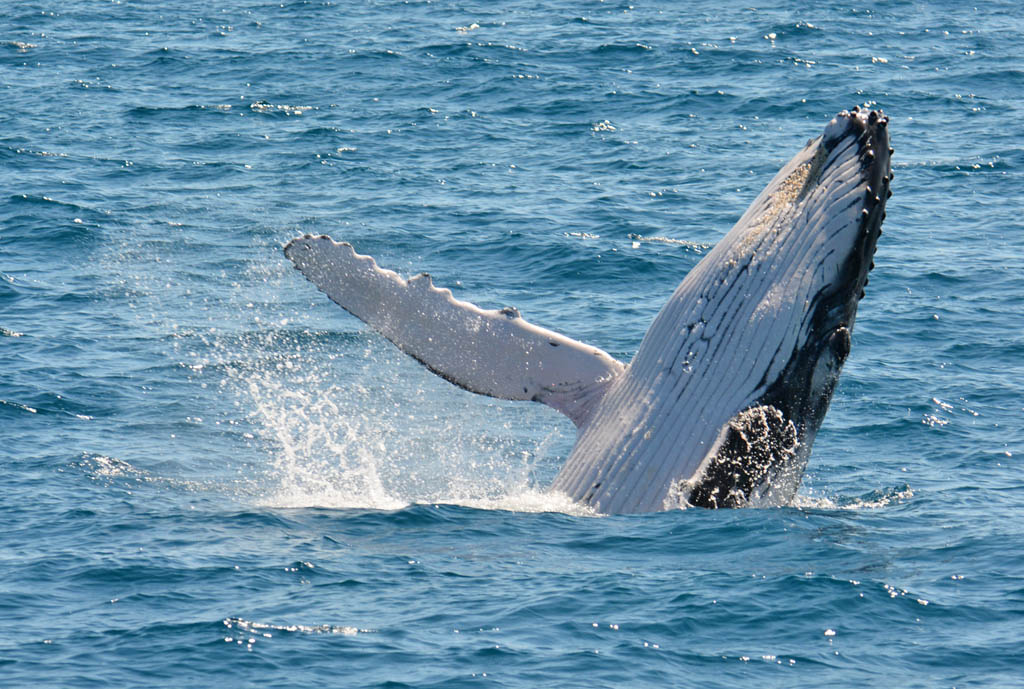 baby-whale-hervey-bay