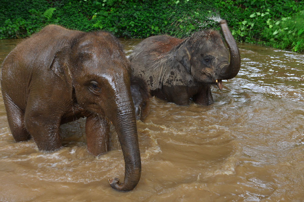 the-elephants-love-a-swim-in-the-river at the elephant sanctuary