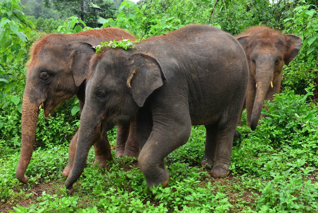 baby-elephants-at-a-chiang-mai-elephant-sanctuary