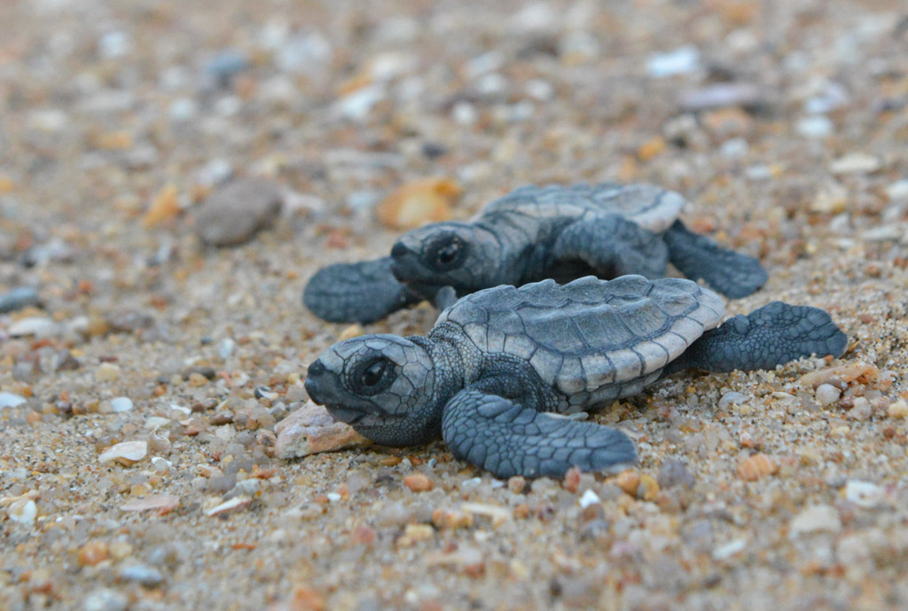 baby-loggerhead-turtles