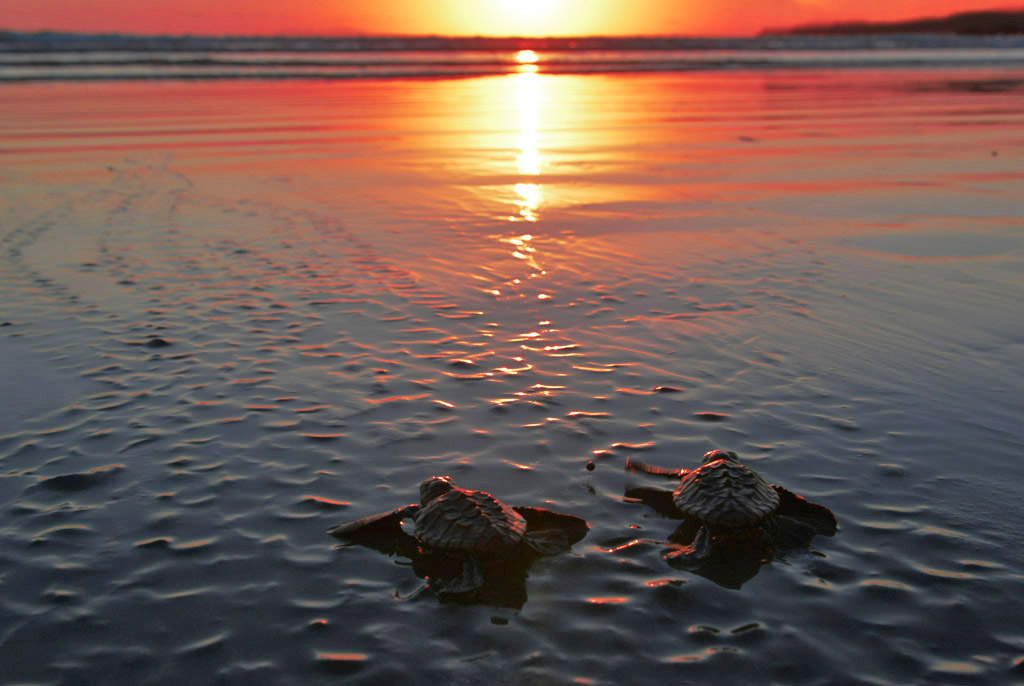 baby-turtles-make-their-first-journey