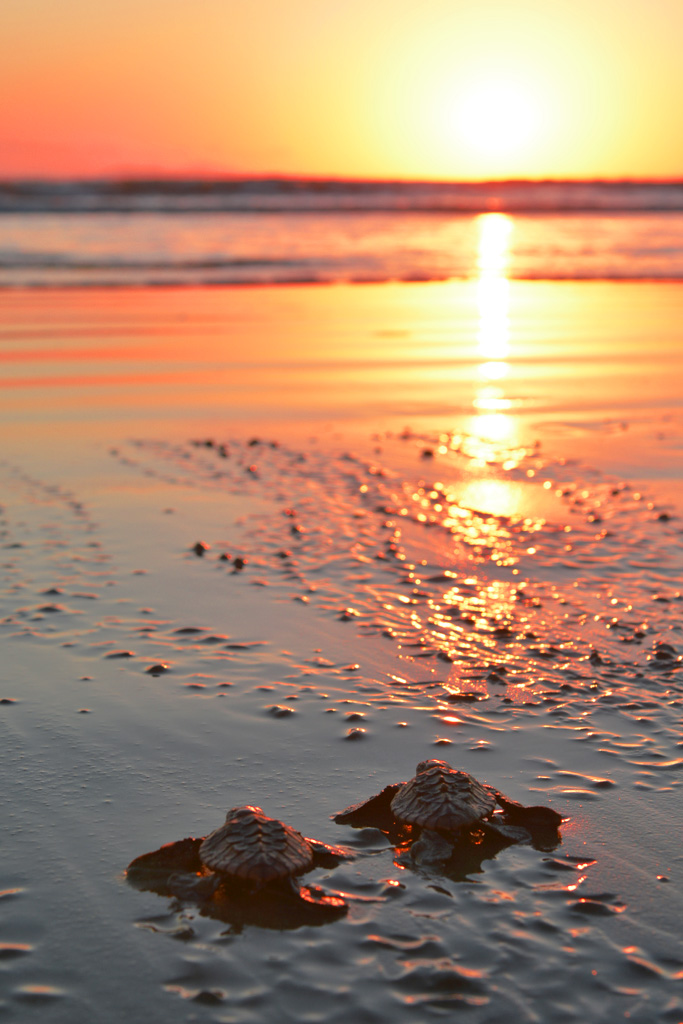 baby-turtles-make-their-way-to-the-ocean