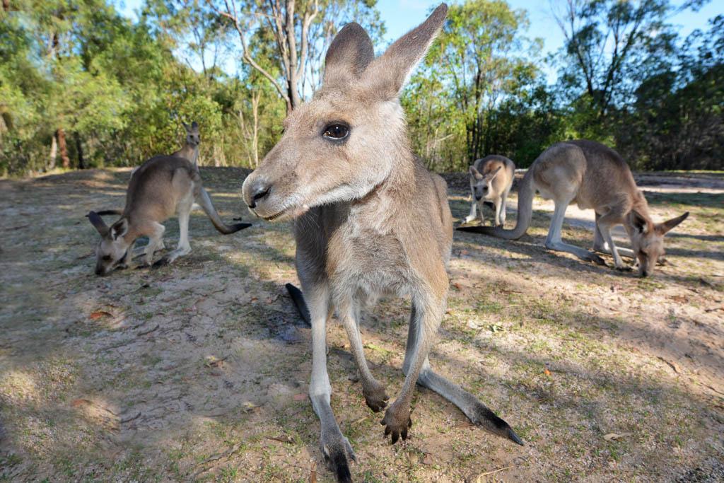 camp-with-kangaroos-at-horizona-kangaroo-sanctuary-agnes-water