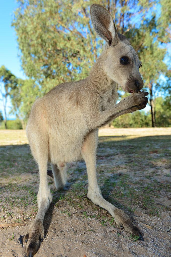 kangaroo-sanctuary