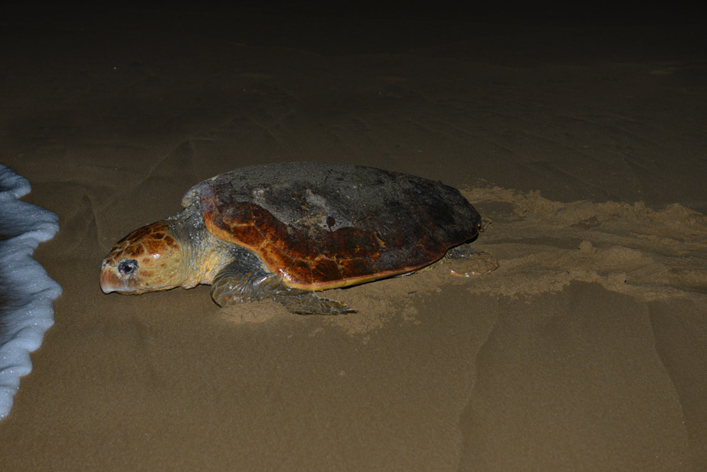 female-turtle-leaves-the-ocean