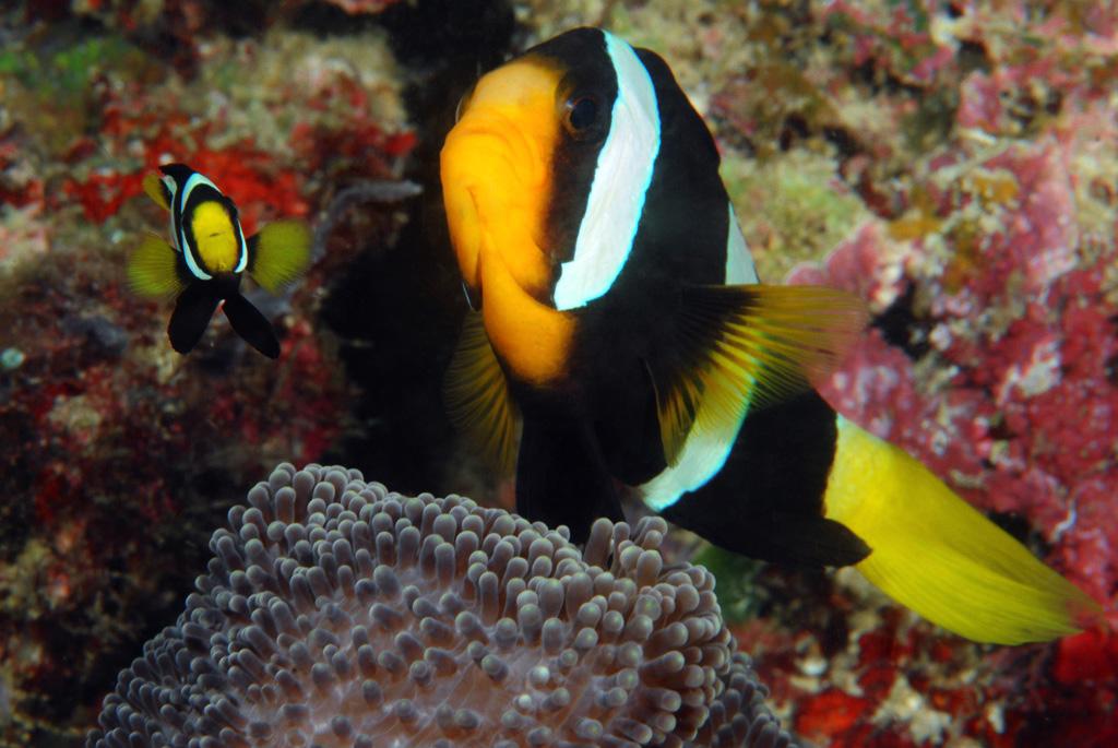 Clarks Clowfish