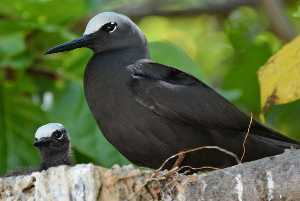 black-noddy-and-little-chick