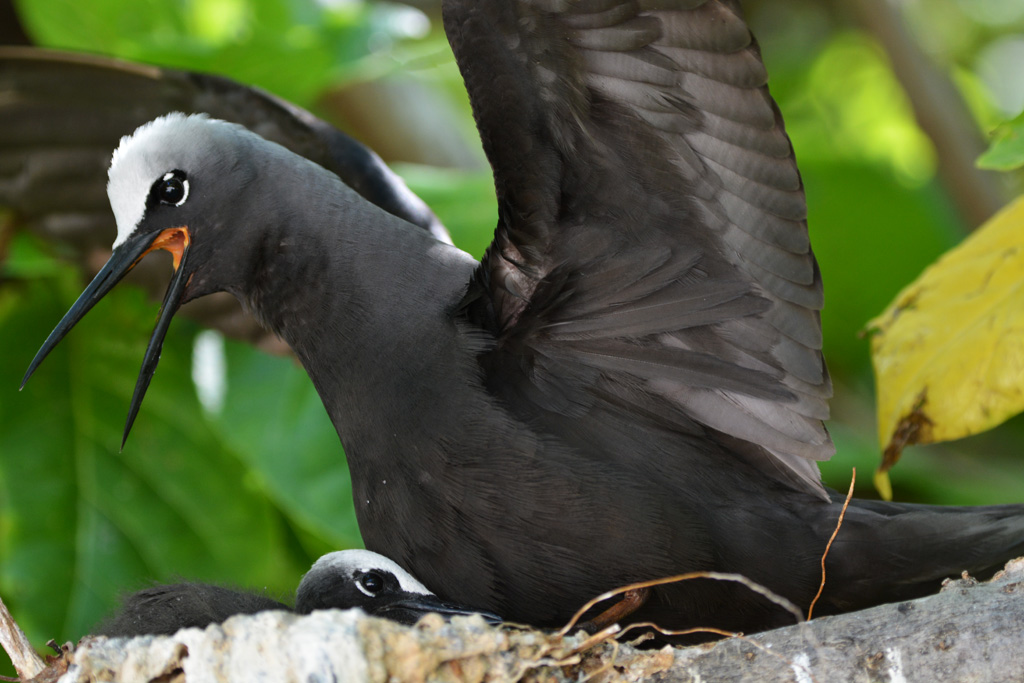 black-noddy-protects-chick