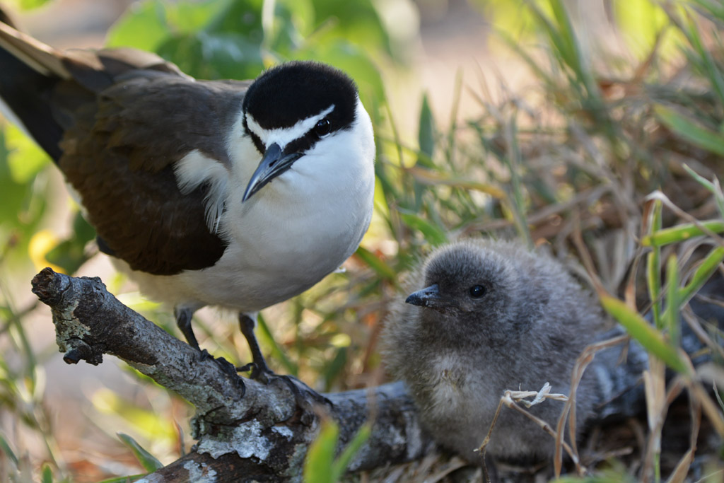 bridled-tern-and-chick