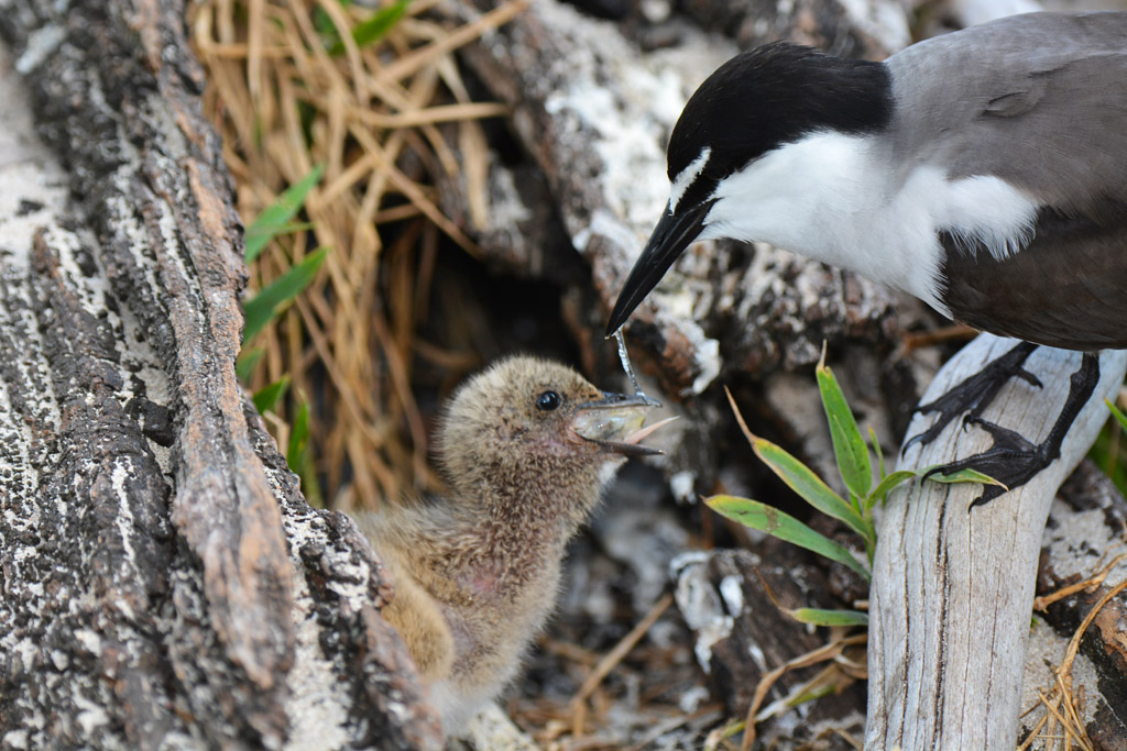 bridled-tern-feeds-chick