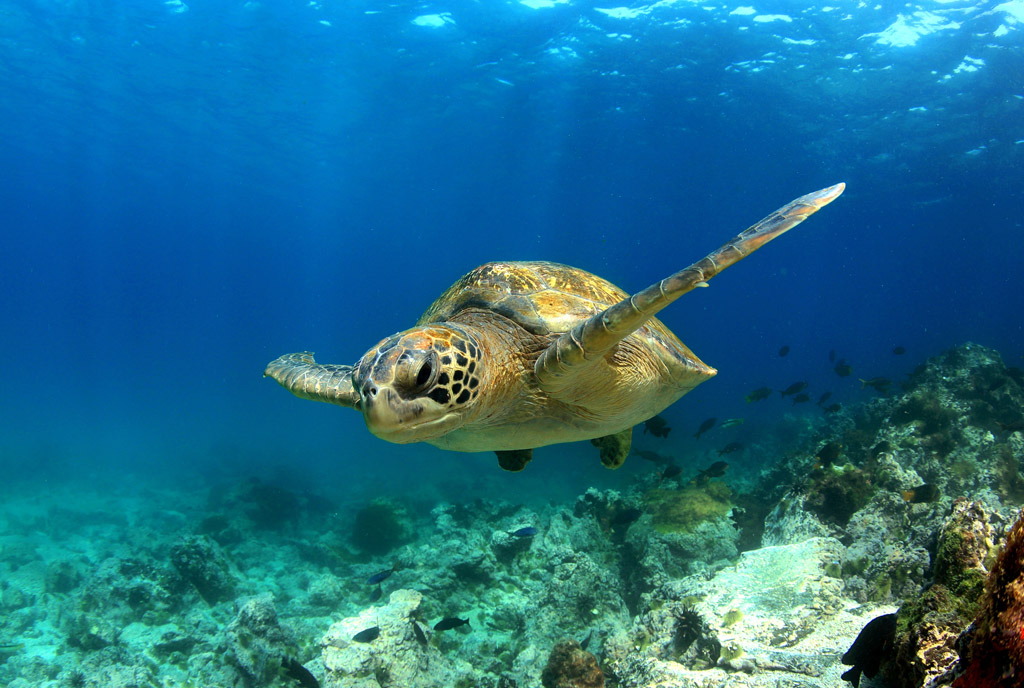 Green turtle at Lady Musgrave Island