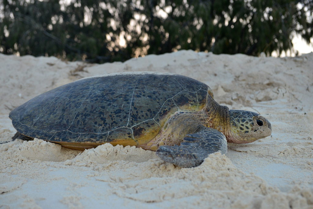 green-turtle-lays-her-eggs