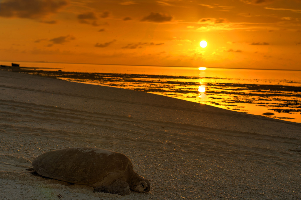 green-turtle-on-lady-musgrave-island-at-sunrise