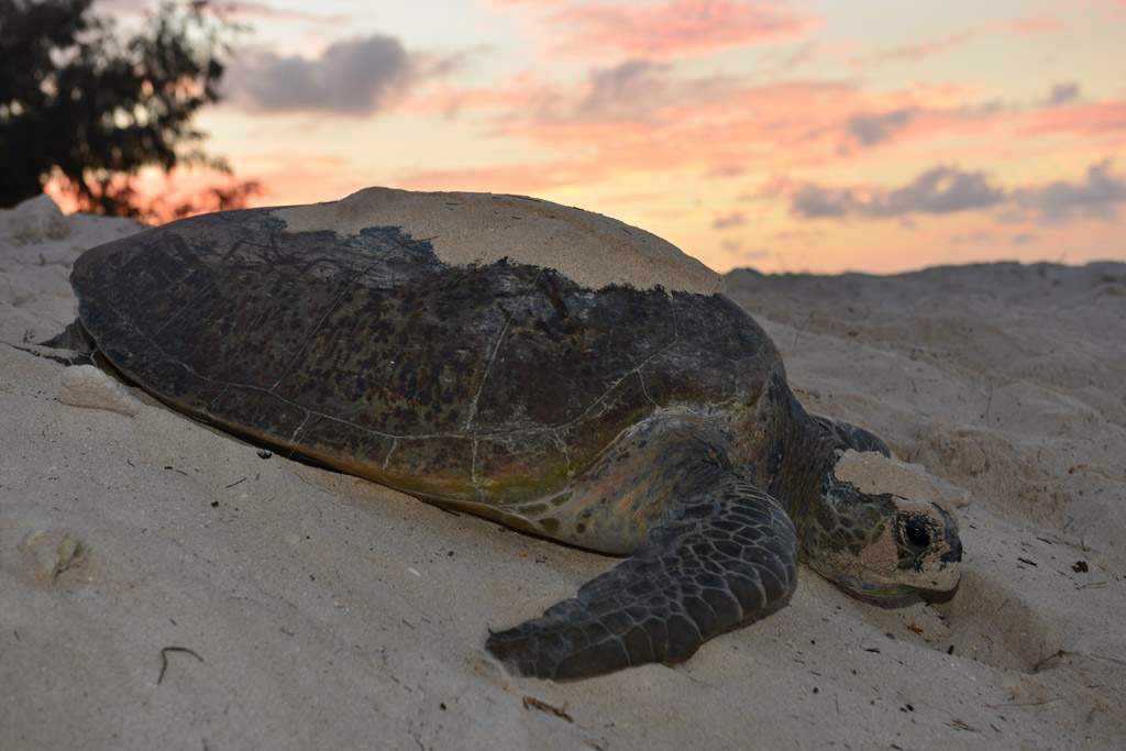 green-turtle-on-lady-musgrave