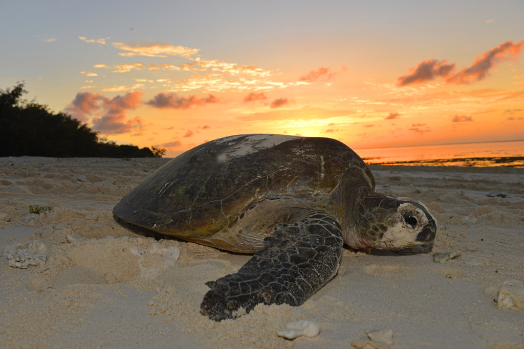 green-turtle-on-the-beach-to-lay-her-eggs