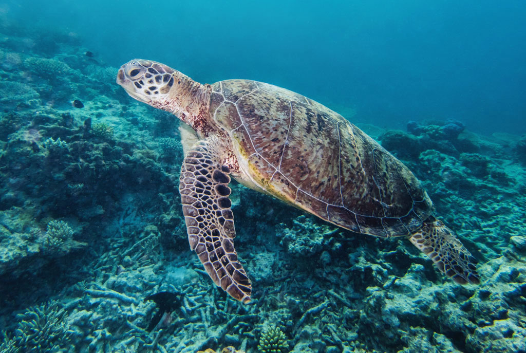turtle swimming at lady musgrave island