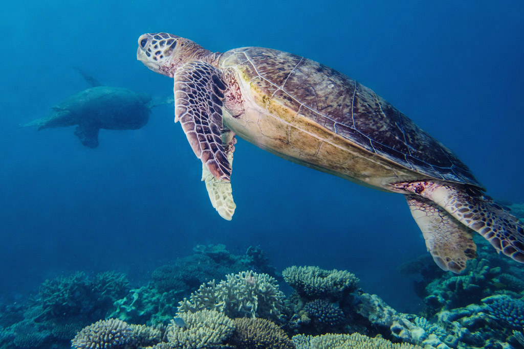 Green turtle swims underwater