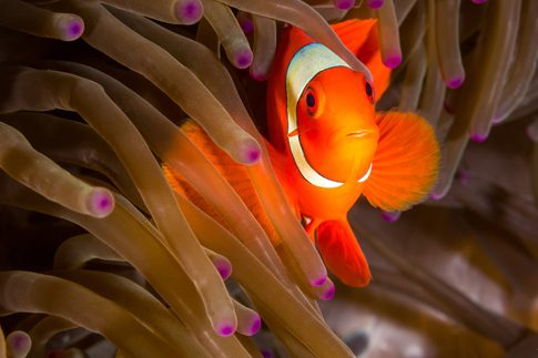 maroon clownfish lady musgrave