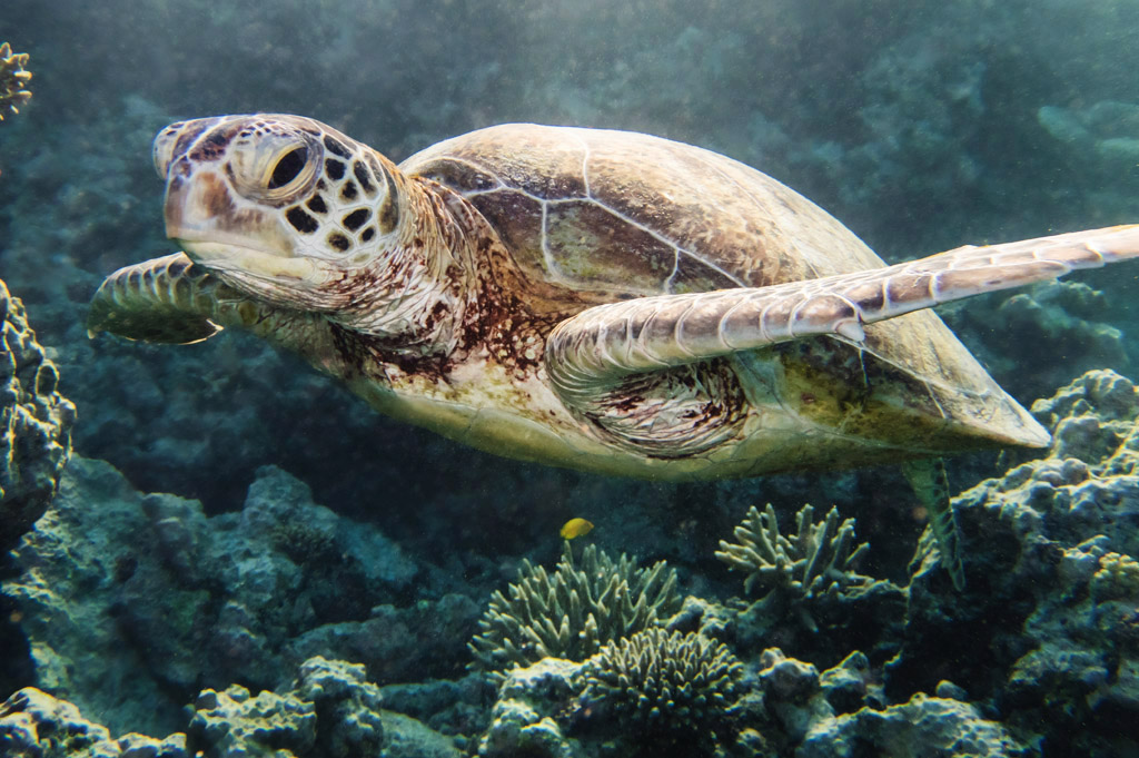 swimming with green turtles