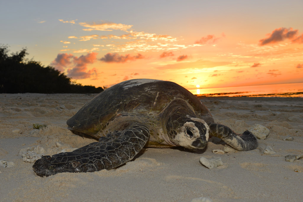 turtle-at-sunrise-lady-musgrave