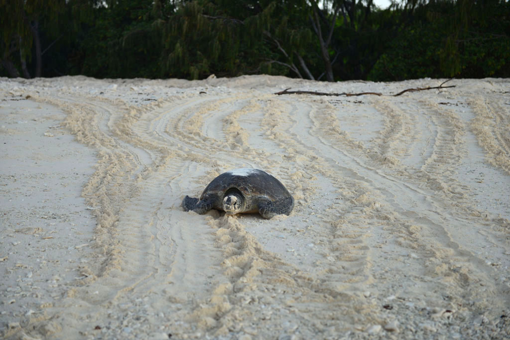 turtle-on-the-beach-amongst-the-tracks