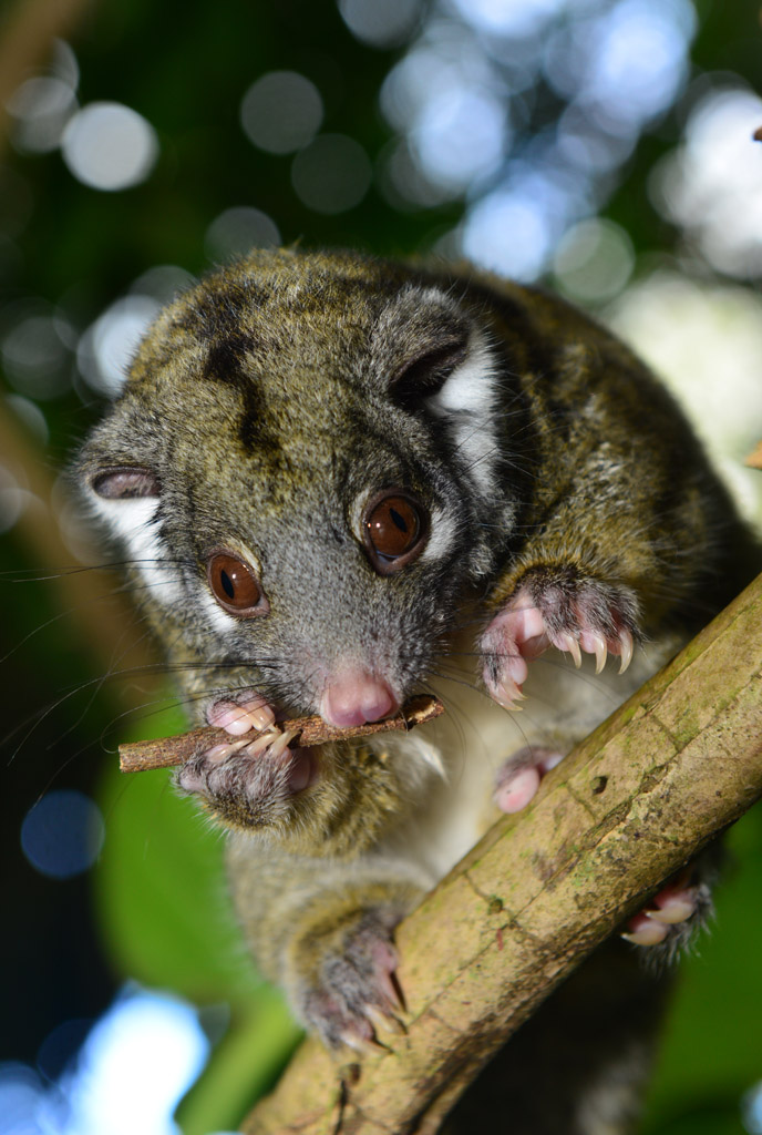 baby green possum
