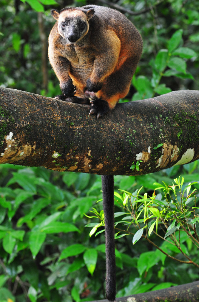 geoffrey tree kangaroo 1