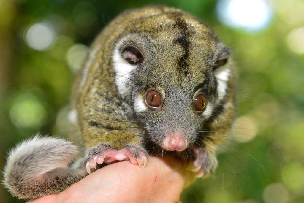 green possum baby