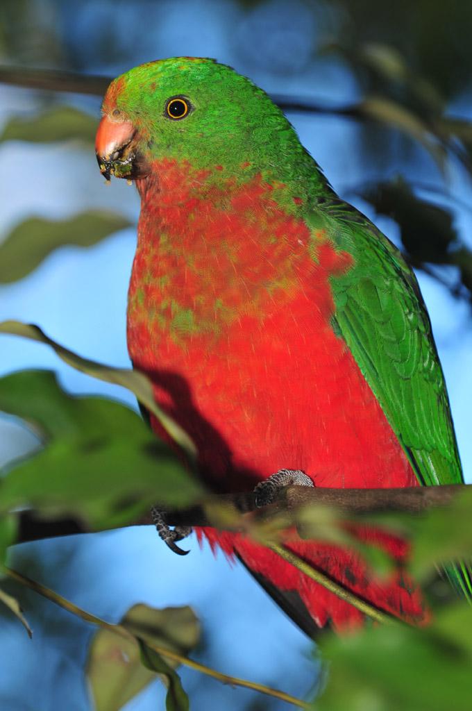 juvenile king parrot